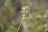 Nodding onion - Allium cernuum (ALCE2)