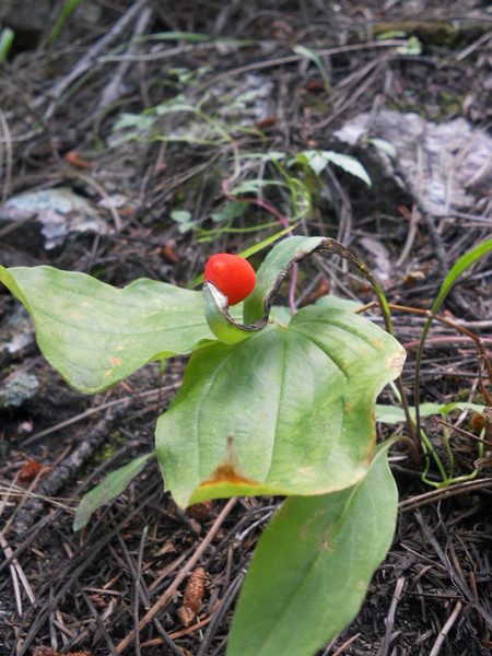 Roughfruit fairybells - Prosartes trachycarpa (PRTR4). Photo by Peter Gordon & Darnisha Coverson.