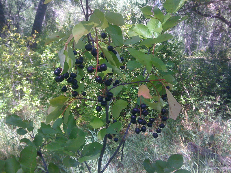Black chokecherry - Prunus virginiana var. melanocarpa (PRVIM). Photo by Peter Gordon & Darnisha Coverson.