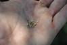 Northern Idaho biscuitroot - Lomatium orientale (LOOR)