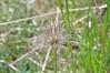 Eastern pasqueflower - Pulsatilla patens (PUPA5)