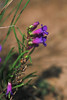Penland's beardtongue - Penstemon penlandii (PEPE25). Photo by Dale Swenarton.
