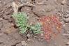 Purple springparsley - Cymopterus purpureus (CYPU2)