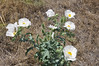 Crested pricklypoppy - Argemone polyanthemos (ARPO2)