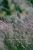 Mountain muhly - Muhlenbergia montana (MUMO). Photo by Dale Swenarton.