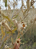 Bractless blazingstar - Mentzelia nuda (MENU). Photo by Peter Gordon & Darnisha Coverson.