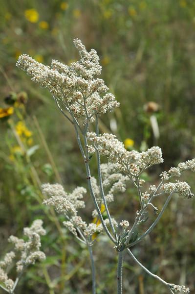 Annual buckwheat - Eriogonum annuum (ERAN4). Photo by Kathryn Mauz.