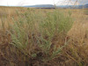 Prairie sagewort - Artemisia frigida (ARFR4)