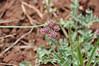 Bulbous springparsley - Cymopterus bulbosus (CYBU)