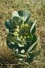 Broadleaf milkweed - Asclepias latifolia (ASLA4). Photo by Kathryn Mauz.