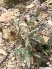 Barneby's thistle - Cirsium barnebyi