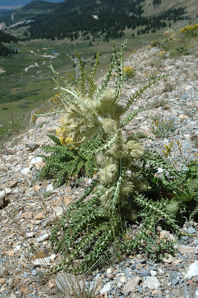 Eaton's thistle - Cirsium eatonii (CIEA). Photo by Kathryn Mauz.