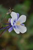 Colorado blue columbine - Aquilegia coerulea (AQCO)