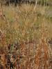 Little bluestem - Schizachyrium scoparium (SCSC)