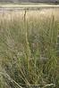 Seaside arrowgrass - Triglochin maritima (TRMA20)