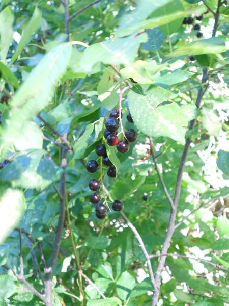 Black chokecherry - Prunus virginiana var. melanocarpa (PRVIM). Photo by Peter Gordon & Darnisha Coverson.