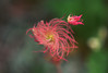 Old man's whiskers - Geum triflorum var. triflorum (GETRT). Photo by Dale Swenarton.