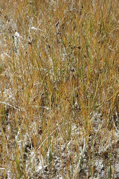 Nevada bulrush - Scirpus nevadensis (SCNE). Photo by Kathryn Mauz.