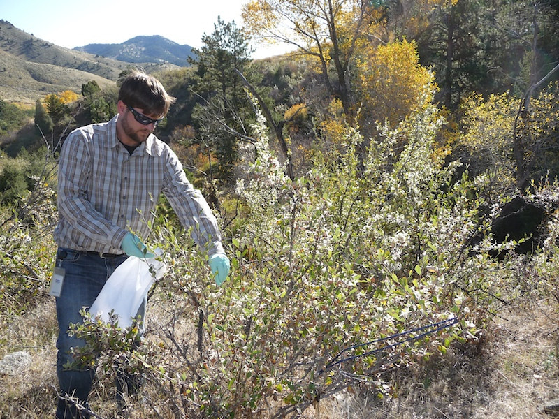 Alderleaf mountain mahogany - Cercocarpus montanus (CEMO2) being collected by Peter Gordon.