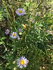 aspen fleabane - Erigeron speciosus