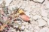 Cicada milkvetch - Astragalus chamaeleuce (ASCH4)