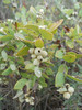 Western snowberry - Symphoricarpos occidentalis (SYOC). Photo by Peter Gordon & Darnisha Coverson.