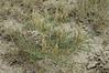 Cream milkvetch - Astragalus racemosus var. racemosus  (ASRAR2). Photo by Kathryn Mauz.