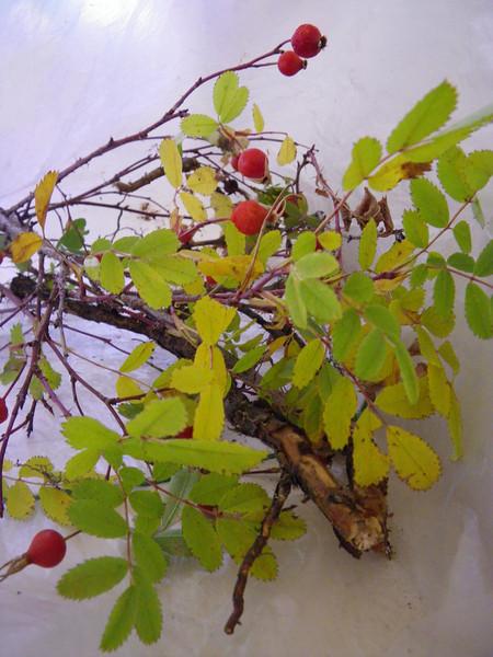 Woods' rose - Rosa woodsii (ROWO)