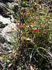 Prickly rose - Rosa acicularis ssp. sayi (ROACS)