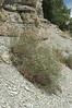 Spearleaf buckwheat - Eriogonum lonchophyllum (ERLO4). Photo by Kathryn Mauz.