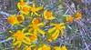 lambstongue ragwort - Senecio integerrimus (SEIN2)