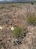 Indian ricegrass - Achnatherum hymenoides (ACHY)