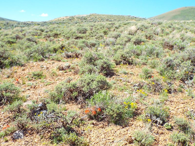 parsnipflower buckwheat - Eriogonum heracleoides (ERHE2)