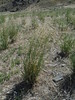 sand dropseed - Sporobolus cryptandrus  (SPCR)