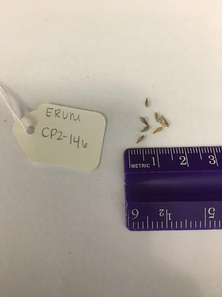 sulphur-flower buckwheat - Eriogonum umbellatum (ERUM)