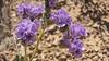 Cleftleaf wildheliotrope - Phacelia crenulata (PHCR)