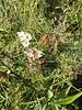 slender cinquefoil - Potentilla gracilis (POGR9)