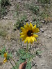 common sunflower - Helianthus annuus (HEAN3)