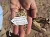 Smallflower globemallow - Sphaeralcea parvifolia (SPPA2)