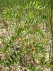 American licorice - Glycyrrhiza lepidota (GLLE3)