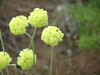Cushion buckwheat - Eriogonum ovalifolium (EROV)