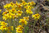 Common woolly sunflower - Eriophyllum lanatum (ERLA6)