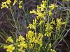 Flaxleaf plainsmustard - Schoenocrambe linifolia (SCLI)
