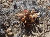 Flat-top broomrape - Orobanche corymbosa ssp. corymbosa (ORCOC3)