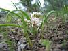 Brandegee's onion - Allium brandegeei (ALBR)