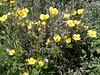Cream cinquefoil - Potentilla arguta ssp. convallaria (POARC)