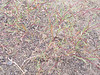 Blackfoot groundsmoke - Gayophytum racemosum (GARA)