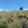 Silvery lupine - Lupinus argenteus ssp. argenteus (LUARA5)