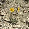 Nakedstem sunray - Enceliopsis nudicaulis (ENNU)