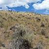 Blue Mountain buckwheat - Eriogonum strictum ssp. proliferum var. proliferum (ERSTP3)